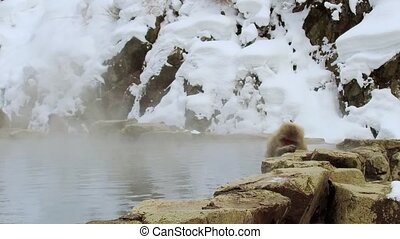 japanese macaque or snow monkey in hot spring - animals,...