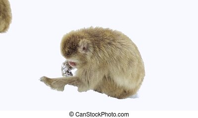 japanese macaques or monkey searching food in snow -...