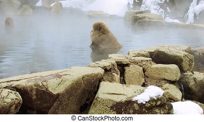 japanese macaques or snow monkeys in hot spring - animals,...
