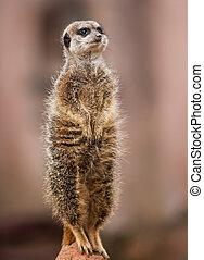 Animals of Africa: watchful meerkat standing on mound
