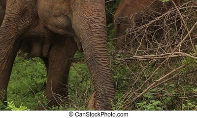 Animals of Sri Lanka. Elephant in the jungle. Close-up.