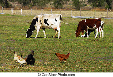 Animals on farm - Brown, black and white hens and two cows ...