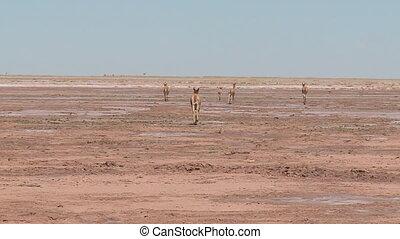 A long shot of Llamas running in a field
