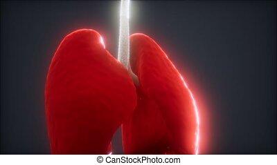 animatie, longen, 3d, menselijk