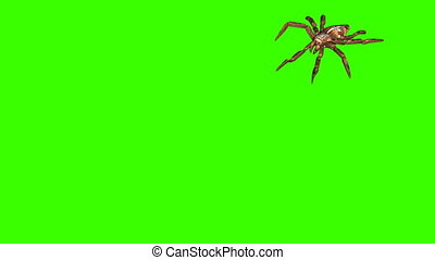 spider on green screen creepy crawling