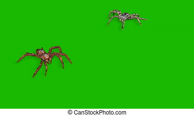 two spiders on green screen creepy crawling