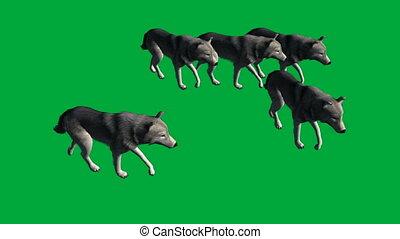 wolfs walk - animal green screen footage - animation-wolfs...