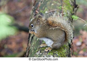 animaux, écureuil