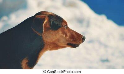 animaux, aboyer, hiver, fâché, neige, chien, arrière-plan., aggressive., sdf, portrait, pas, style de vie, problème, animaux familiers