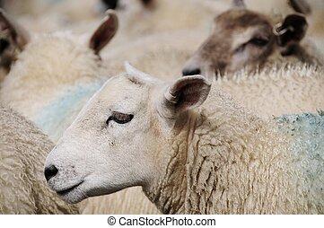 animaux, bétail
