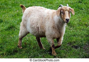 animaux ferme, -, chèvre