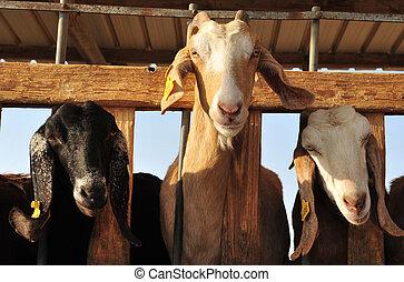 animaux ferme, -, chèvres