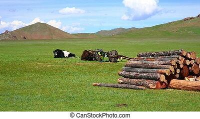 animaux, pâturage, mongolie, prairie