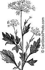 Anise or Pimpinella anisum vintage engraving - Anise or Anis...