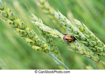 Anisoplia Austriaca Hbst - Insect pest of agricultural crops...