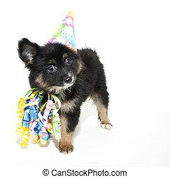 aniversário, pomeranian, filhote cachorro