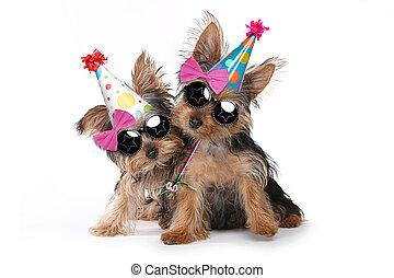 aniversário, tema, terrier yorkshire, filhotes cachorro, branco