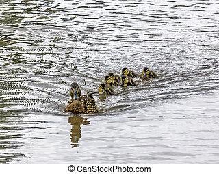 anka, och, ankungar, simma i insjö