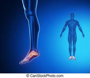 ANKLE bone anatomy x-ray scan