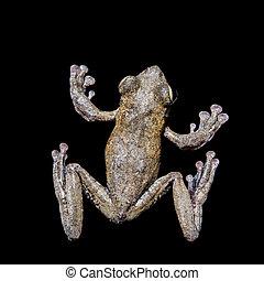 Annam flying frog, Rhacophorus annamensis, on black - Annam...