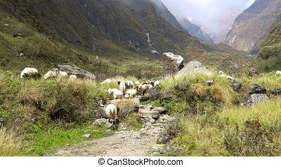 Annapurna base camp trek. Himalayas mountain landscape in...