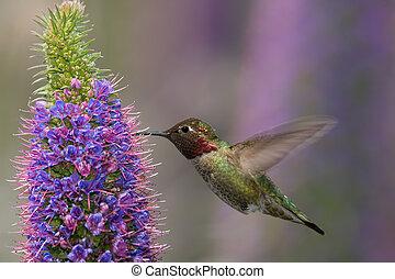 Anna's Hummingbird - Anna's hummingbird feeding on pride of ...
