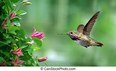 Anna's Hummingbird in the garden panoramic view