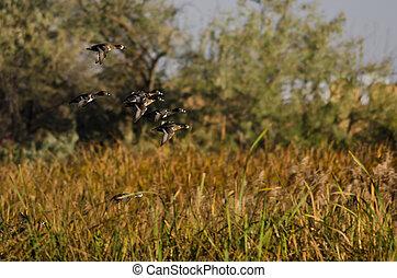 anneau-se bécoté, voler, canards, automne, marais, par, troupeau