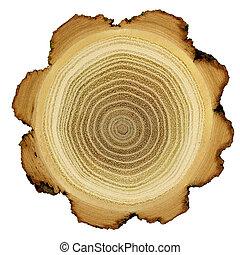 anneaux, croissance, arbre acacia