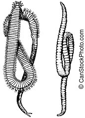 Annelids - Two annelids on white background