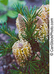 anniversaire, plante, indigène, bougie, extérieur, banksia, australien, ensoleillé, arrière-cour