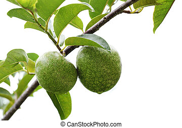 Annona reticulata Fruits on branch isolated on white...
