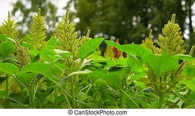 Annual herb amaranth is one of the most common grain crops ...