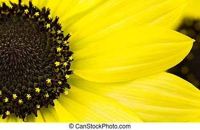 Annual Yellow sunflower - Helianthus annuus, a common garden...