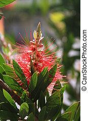 annuellement, gros plan, fleur, spring., arbrisseau, flower., needle-like, vert, brosse, bouteille, callistemon, ou, rouges