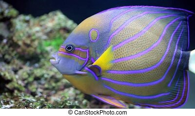 Annularis Angelfish - Sea life: exotic tropical coral reef...