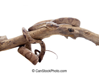 Annulated Boa on white background - Annulated Boa corallus...