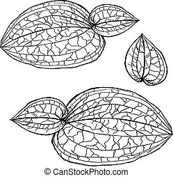 Anoectochilus calcareus orchids leaves by hand drawing. Orchids leaves vector on white