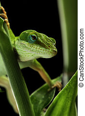 Anole lizard crawling through a plant at night