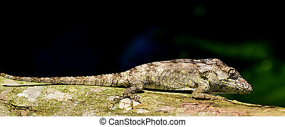 Anolis (Chamaeleolis) guamuhaya (Escambray Bearded Anole).