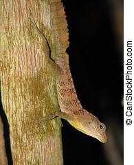 Anolis Gundiachi - Anole OR Anolis Gundiachi Lizard,Jayuya...