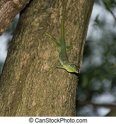 Anolis Lizard on a tree in the jungle of Martinique