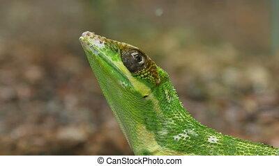 Anolis Lizard Reptile Face Closeup - Anolis, or anoles, is a...