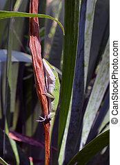 Anolis lizard vertical on a leaf