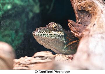 Anolis of island Baracoa - Lizard Anolis hides on the trunk...