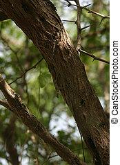Anolis on a tree in habitat, in the Dominican Republic