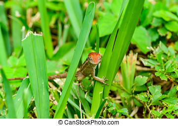 Anolis sagrei - The brown anole is normally a light brown...
