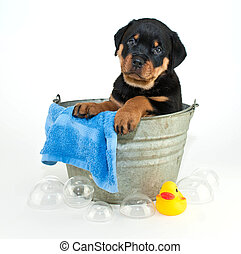 Silly Rottweiler puppy looking confused of why he has to get a bath, on a white background.