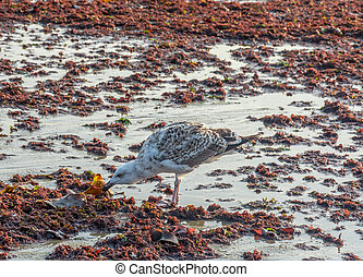 Another Seagull Seeking in the Red Tide