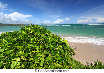 Anse de Sables Beach - Saint Lucia - Lush vegetation grows...